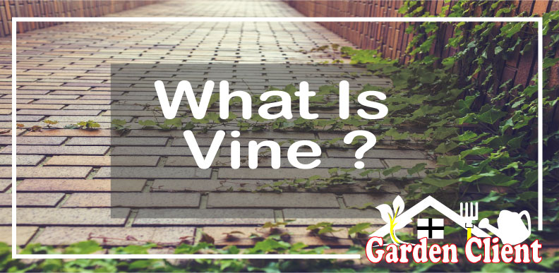 Read more about the article What Is Vine?